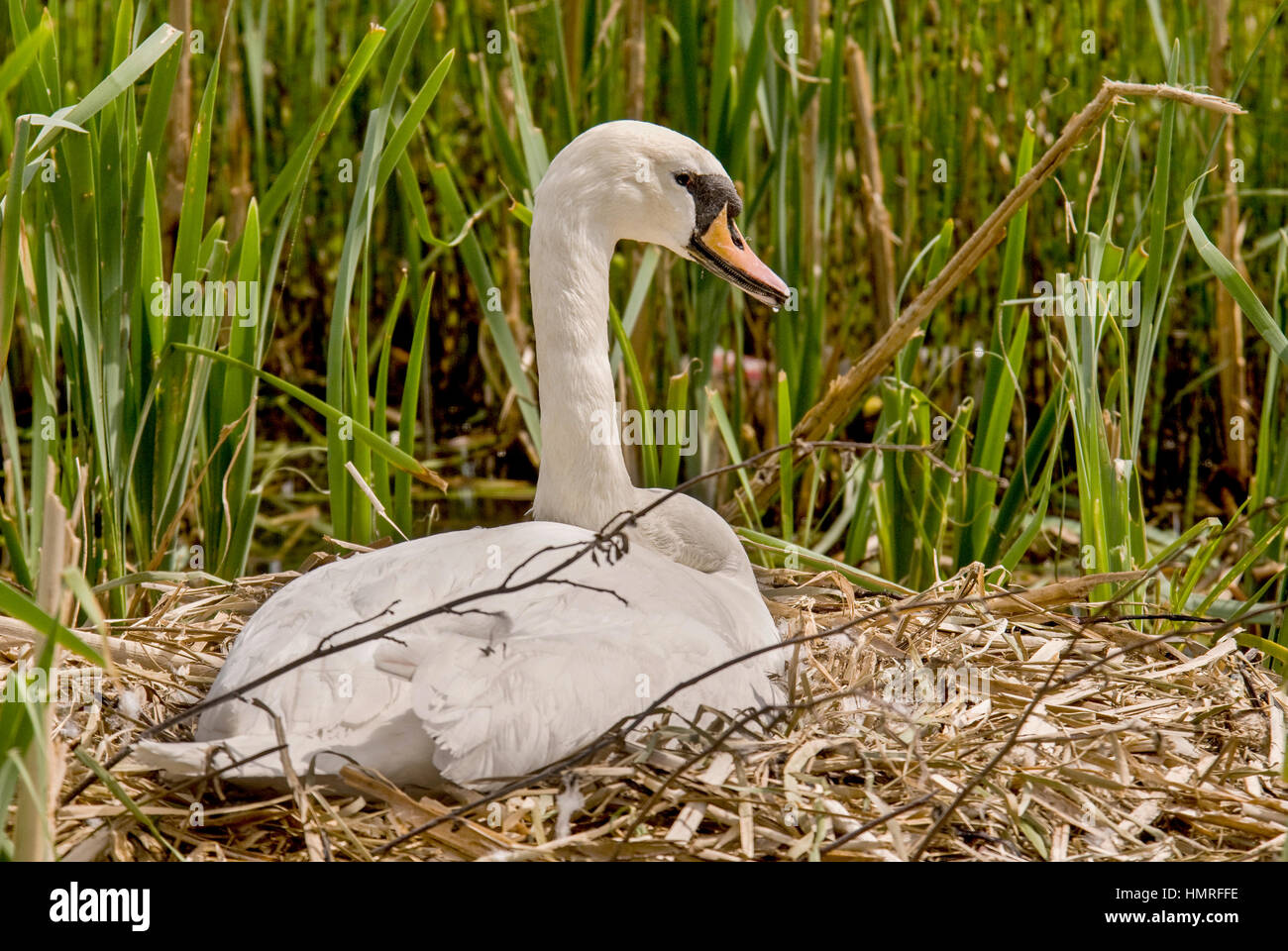 A mute swan sitting on its nest. - Stock Image
