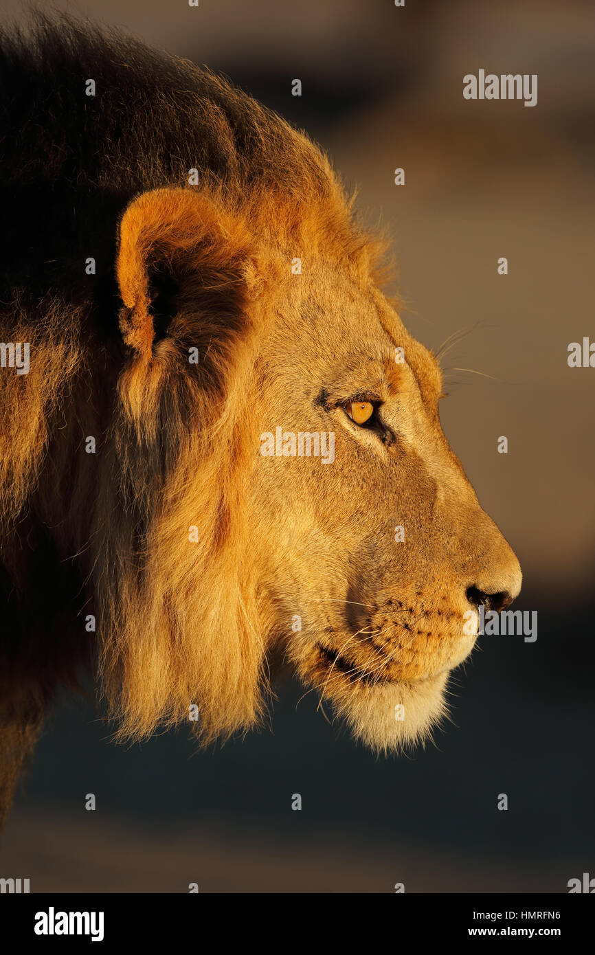 Portrait of a big male African lion (Panthera leo), South Africa Stock Photo