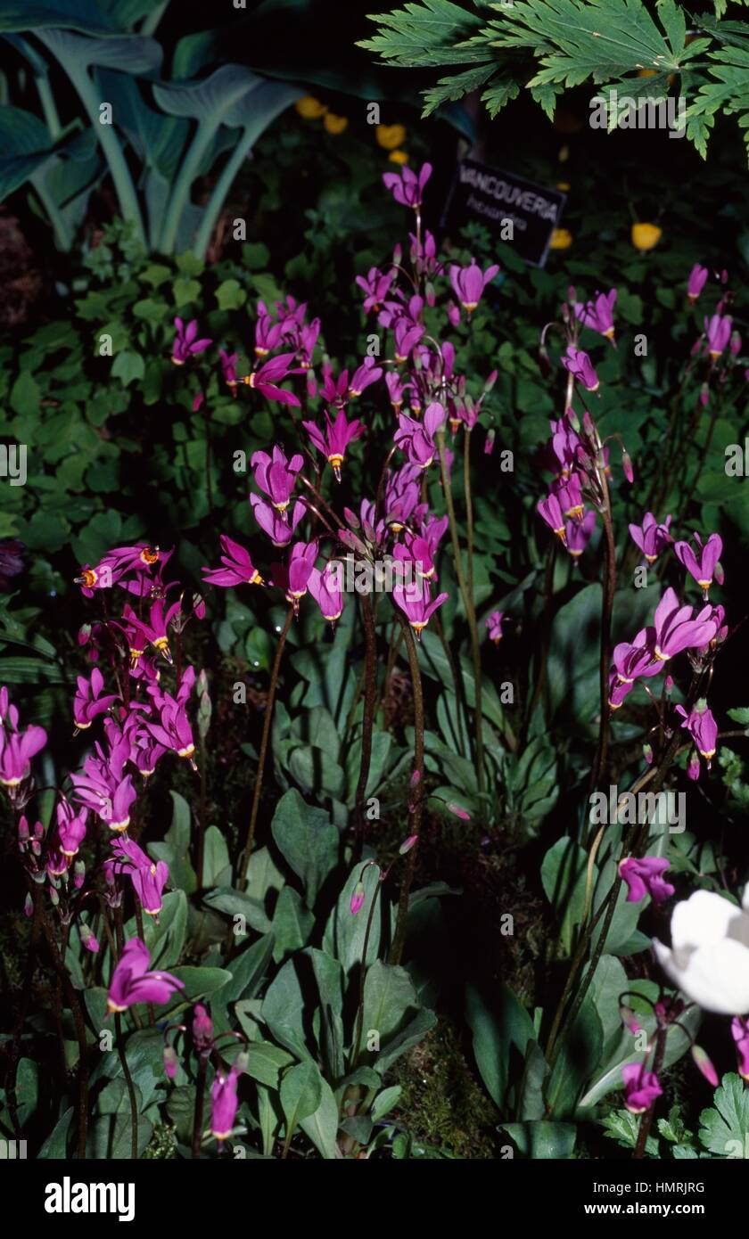 Common Shooting Star or Pride of Ohio (Dodecatheon meadia or Primula meadia), Primulaceae. - Stock Image