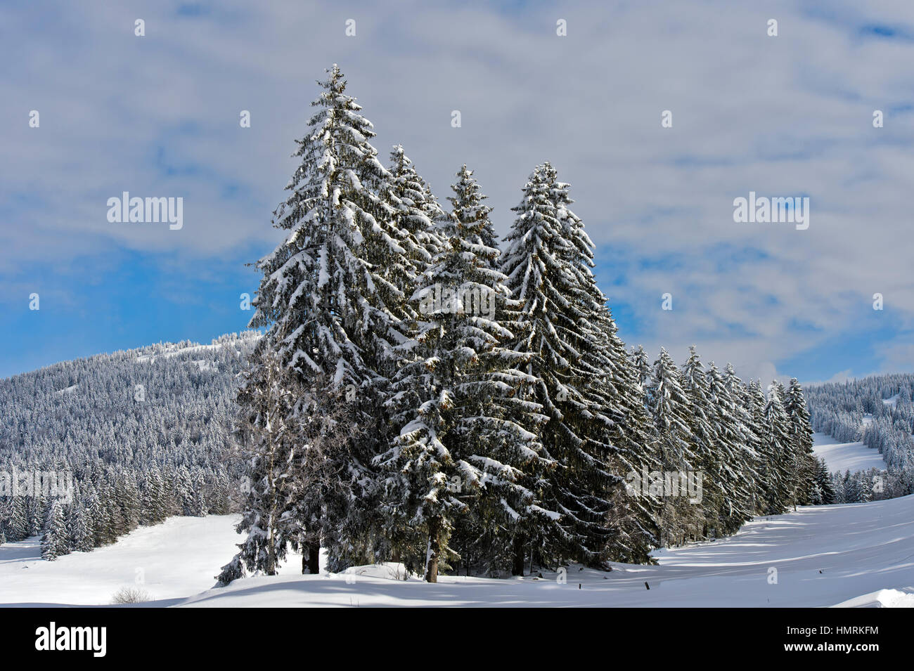 Winter landscape with snow-covered coniferous trees in the Swiss Jura mountain range near Saint-Cergue, Vaud, Switzerland - Stock Image