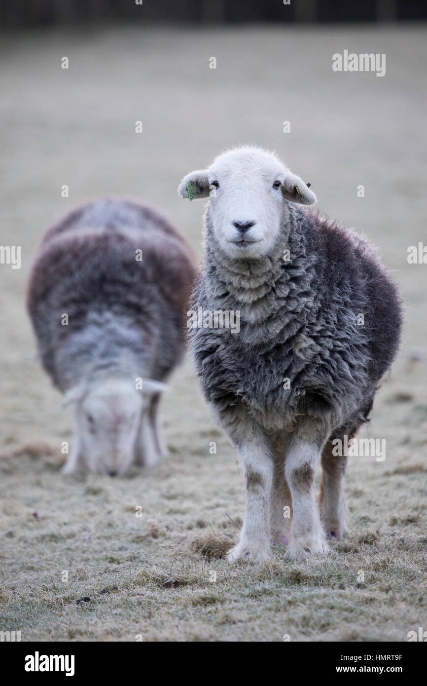 Flintshire, Wales, UK. 5th Feb, 2017. UK Weather: Herdwick sheep braving the freezing conditions this morning over - Stock Image