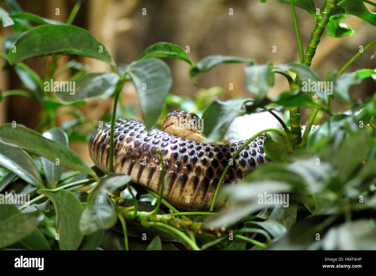Brown Toxic Snake In Terrarium With Green Plants Stock Photo