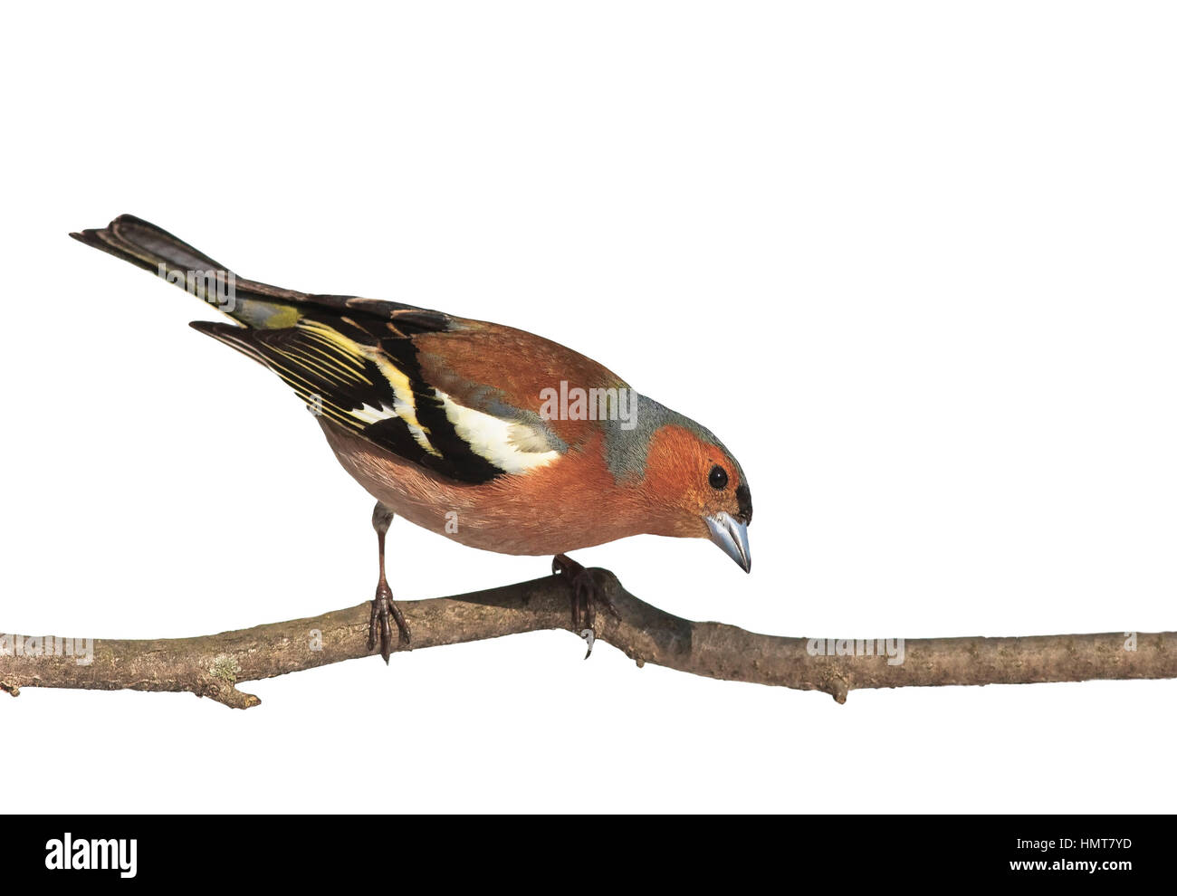 Bird Chaffinch sitting in the Park on a branch on white isolated background - Stock Image