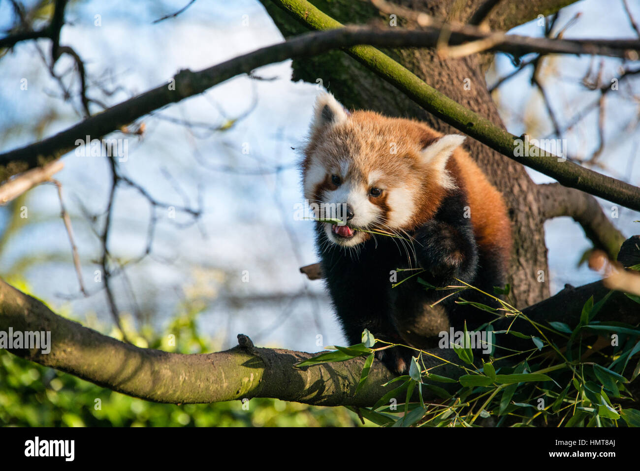 A red panda eating leaves in a tree at a zoo in England a zoo in England - Stock Image