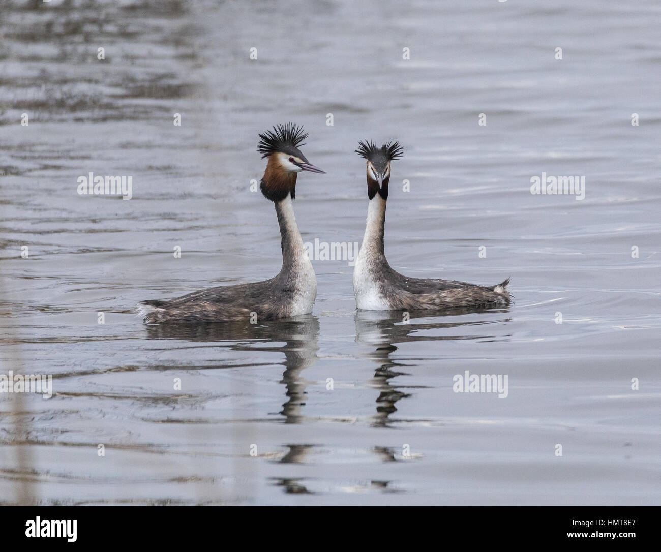 Great crested grebes, Podiceps cristatus beginning courting display in late winter, Somerset Levels. - Stock Image