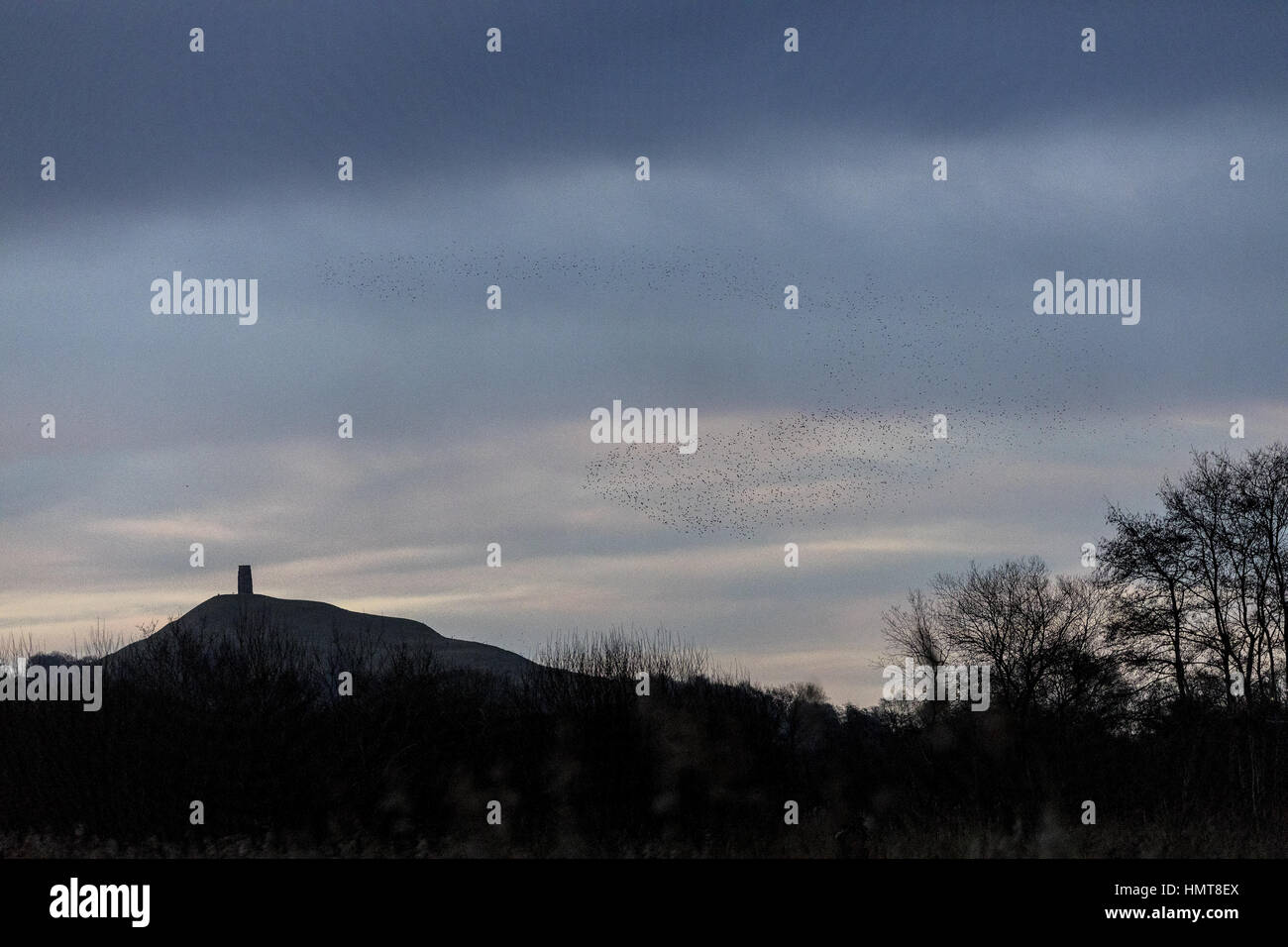 Starlings, Sturnus vulgaris, in huge flocks coming in to roost, evening at Ham Wall, Somerset Levels, with Glastonbury - Stock Image