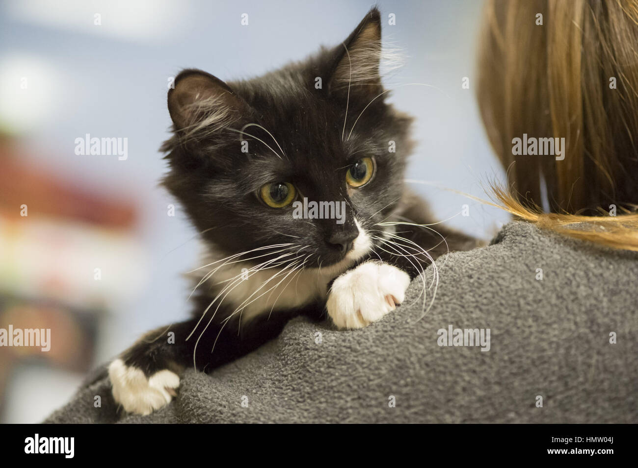 Wantagh, USA. 5th Feb, 2017. Salsa, a five month old black and white domestic female cat is looking around perched - Stock Image