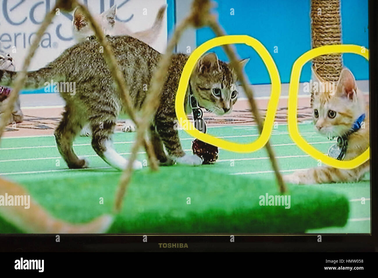 Wantagh, USA. 5th Feb, 2017. During Hallmark Channel's Kitten Bowl IV television show, with two kitten players - Stock Image