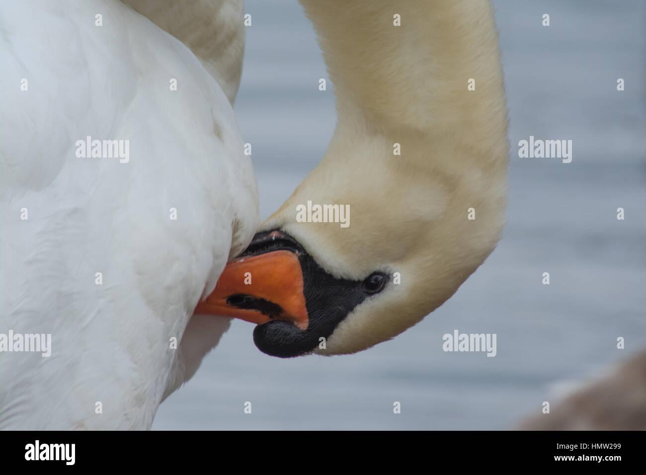 Mute swan (Cygnus olor) preening - Stock Image