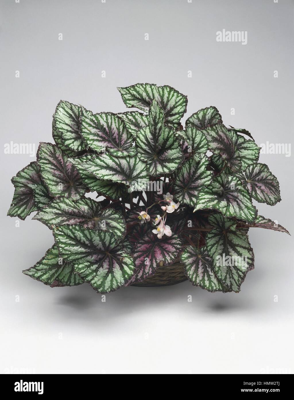 House plants painted leaf begonia begonia rex stock photo 133316754 alamy - Begonie zimmerpflanze ...