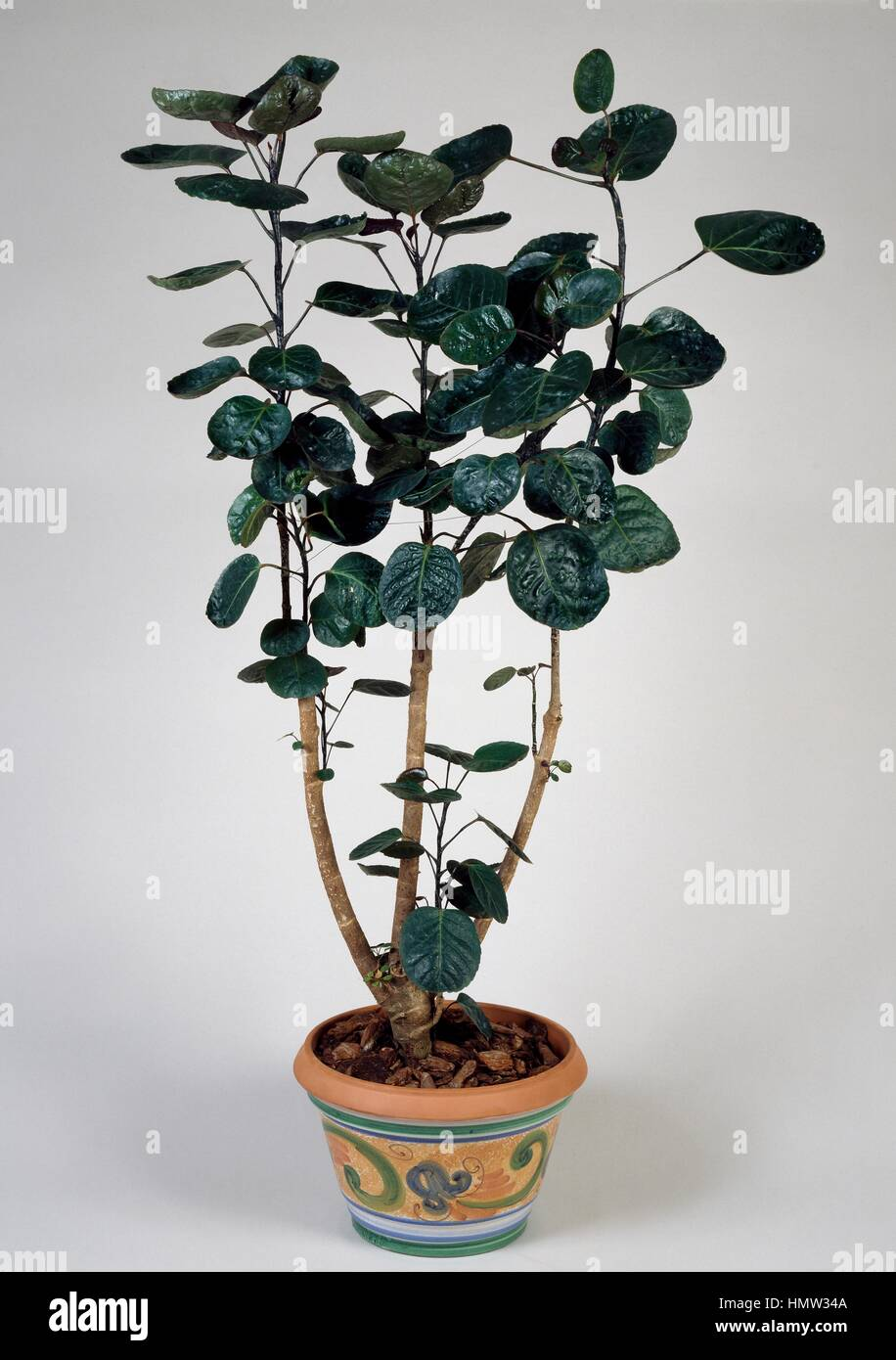 Fabian aralia (Polyscias fabian), Araliaceae. - Stock Image