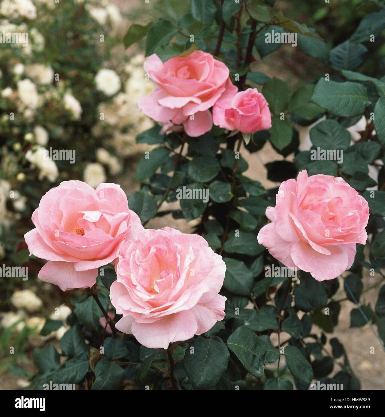 queen elizabeth rose rosa sp floribunda hybrid rosaceae stock photo 133317081 alamy. Black Bedroom Furniture Sets. Home Design Ideas