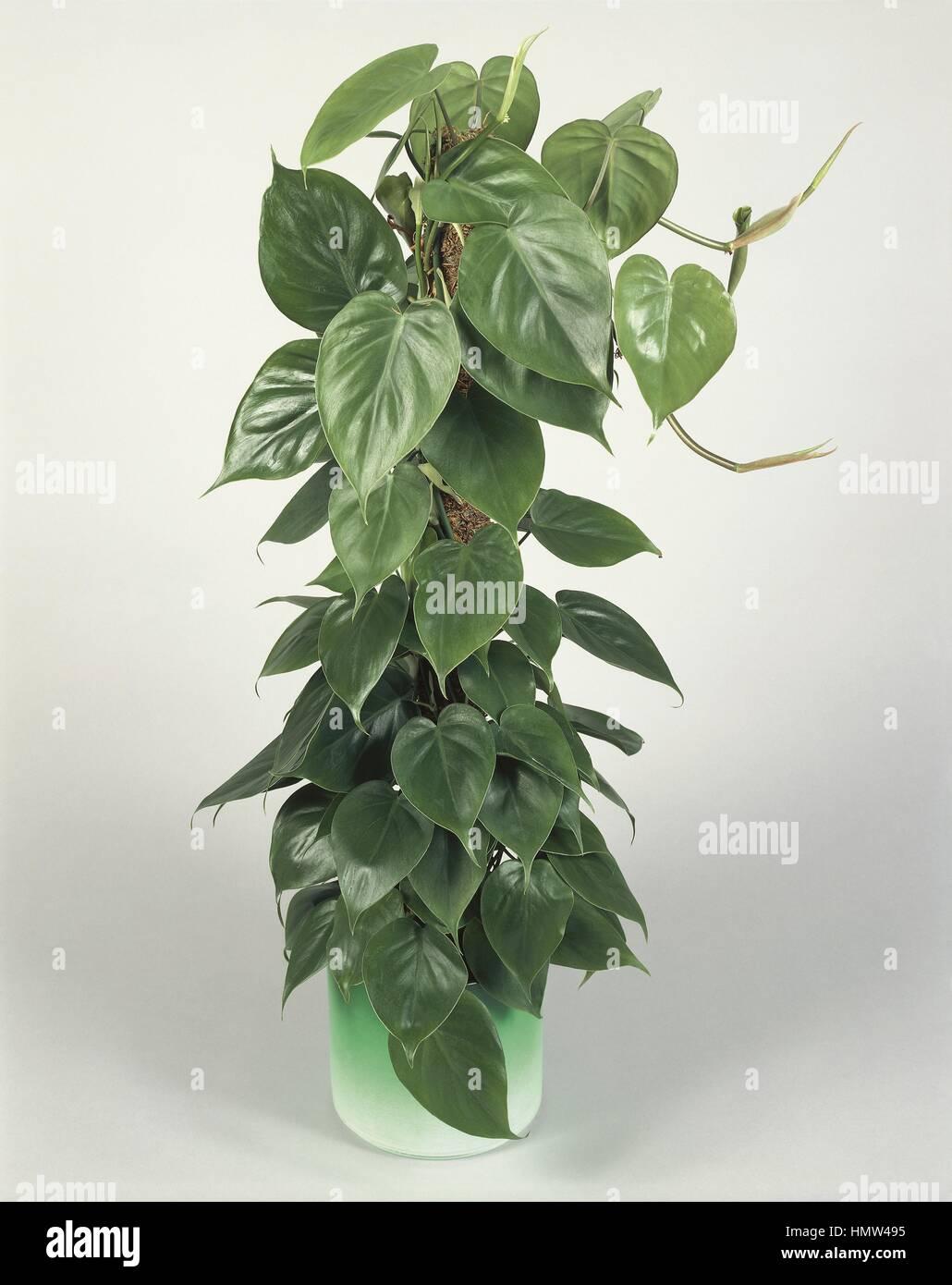excellent long vine house plant. Parlor Ivy or Sweatheart vine  Philodendron scandens Houseplants Araceae