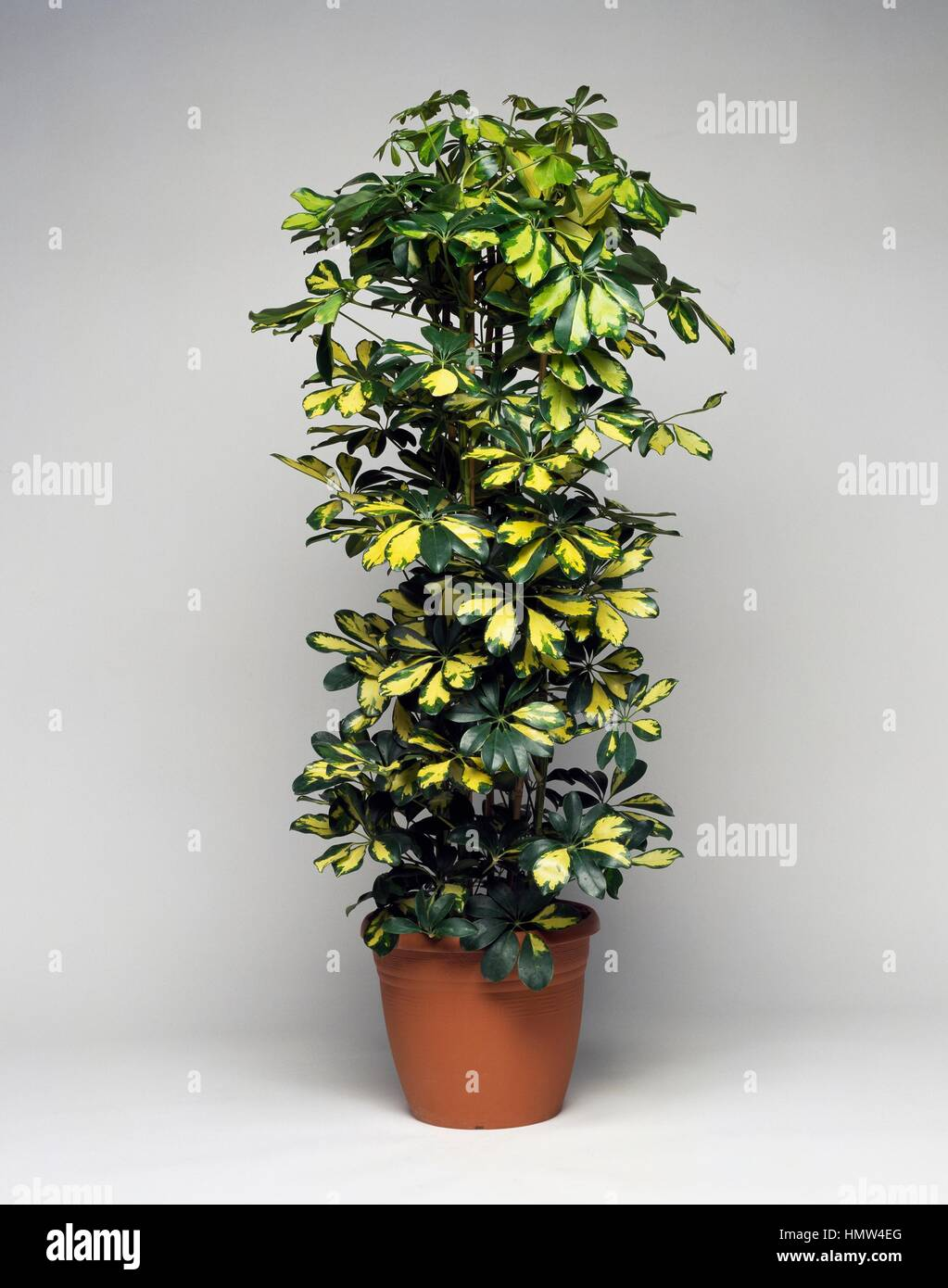 schefflera gold capella stock photos schefflera gold capella stock images alamy. Black Bedroom Furniture Sets. Home Design Ideas