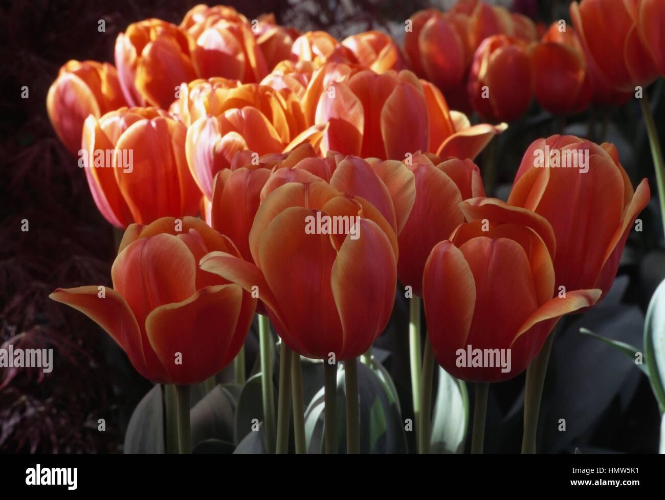 Darwin Tulip (Tulipa Ad Rem), Liliaceae. - Stock Image