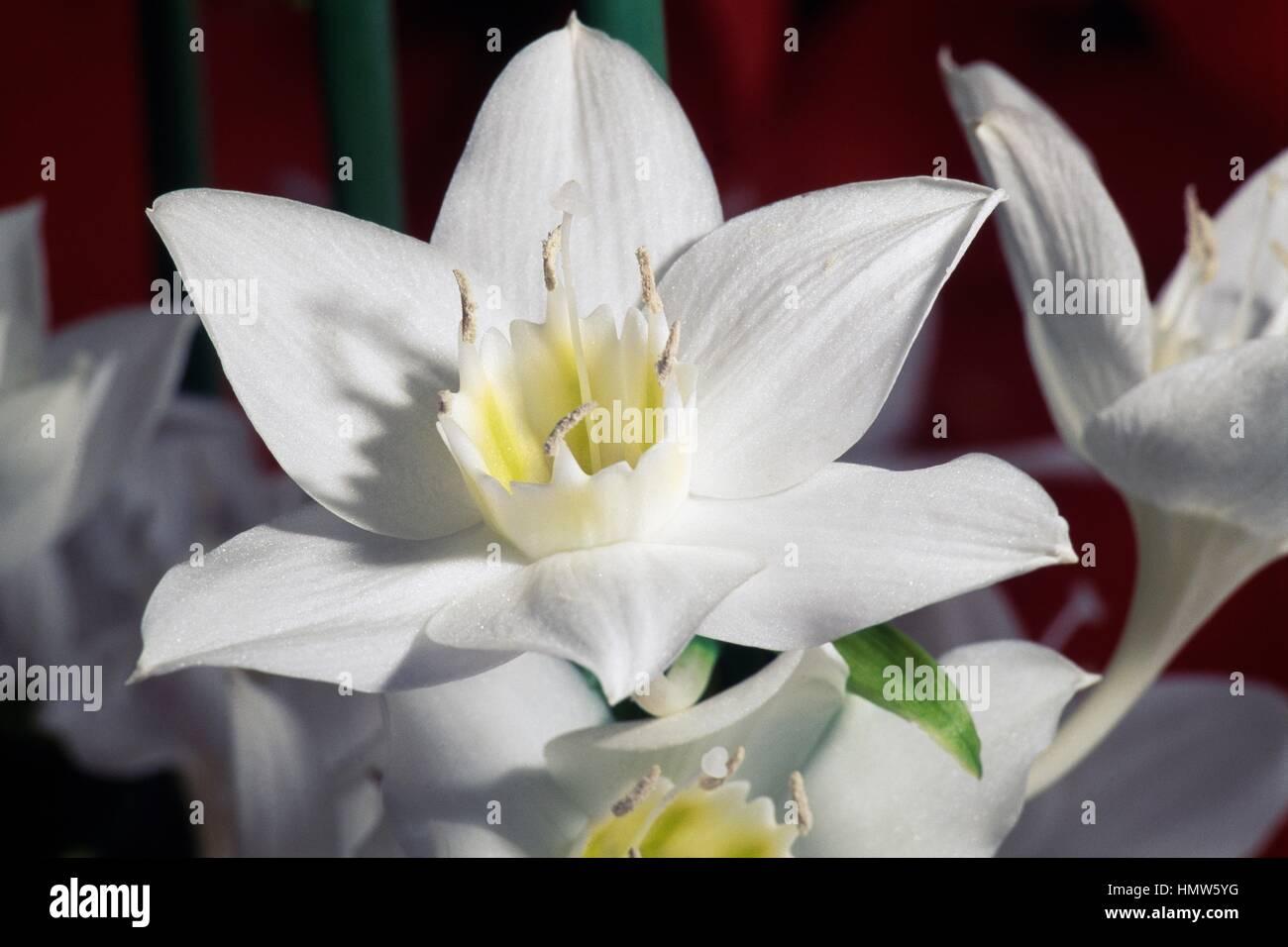 Amazon Lily Eucharis Amazonica Stock Photos Amazon Lily Eucharis