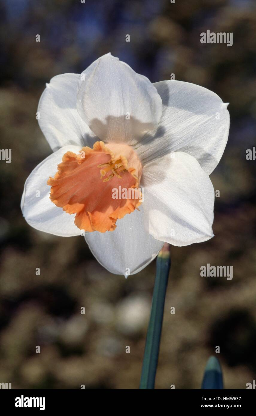 Narcissus or daffodil (Narcissus Amore), Amaryllidaceae. - Stock Image