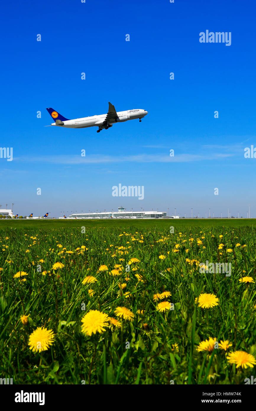 Lufthansa Airbus departs, dandelion meadow, Munich Airport, Bavaria, Germany - Stock Image