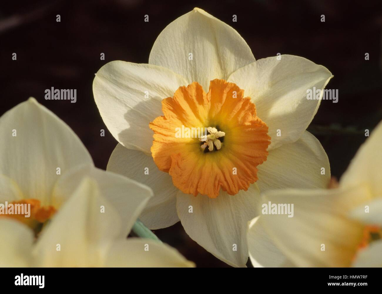 Narcissus or daffodil (Narcissus Amor), Amaryllidaceae. - Stock Image