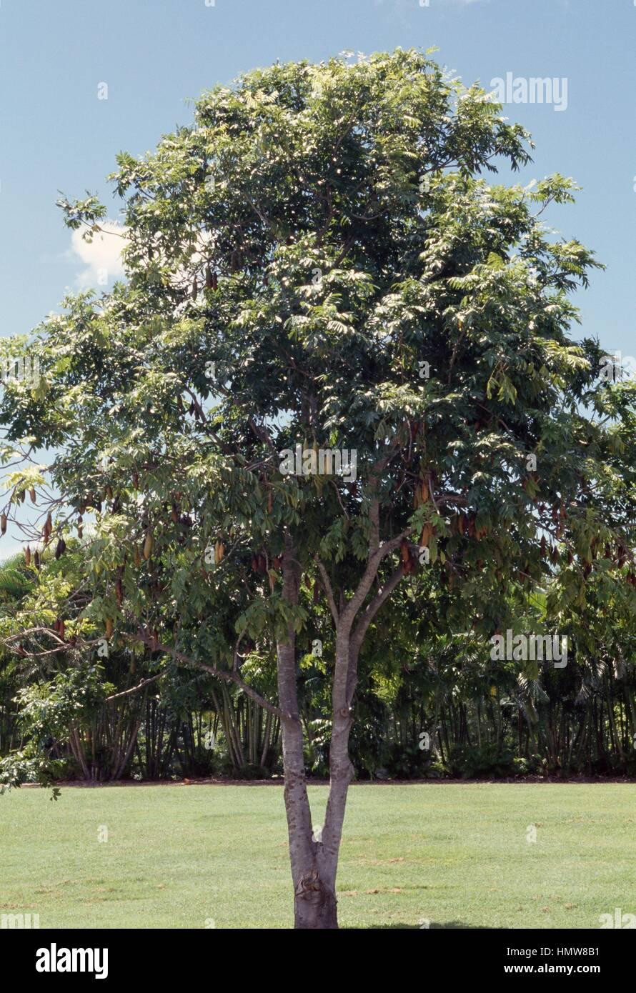 Moreton Bay Chestnut or Blackbean ...
