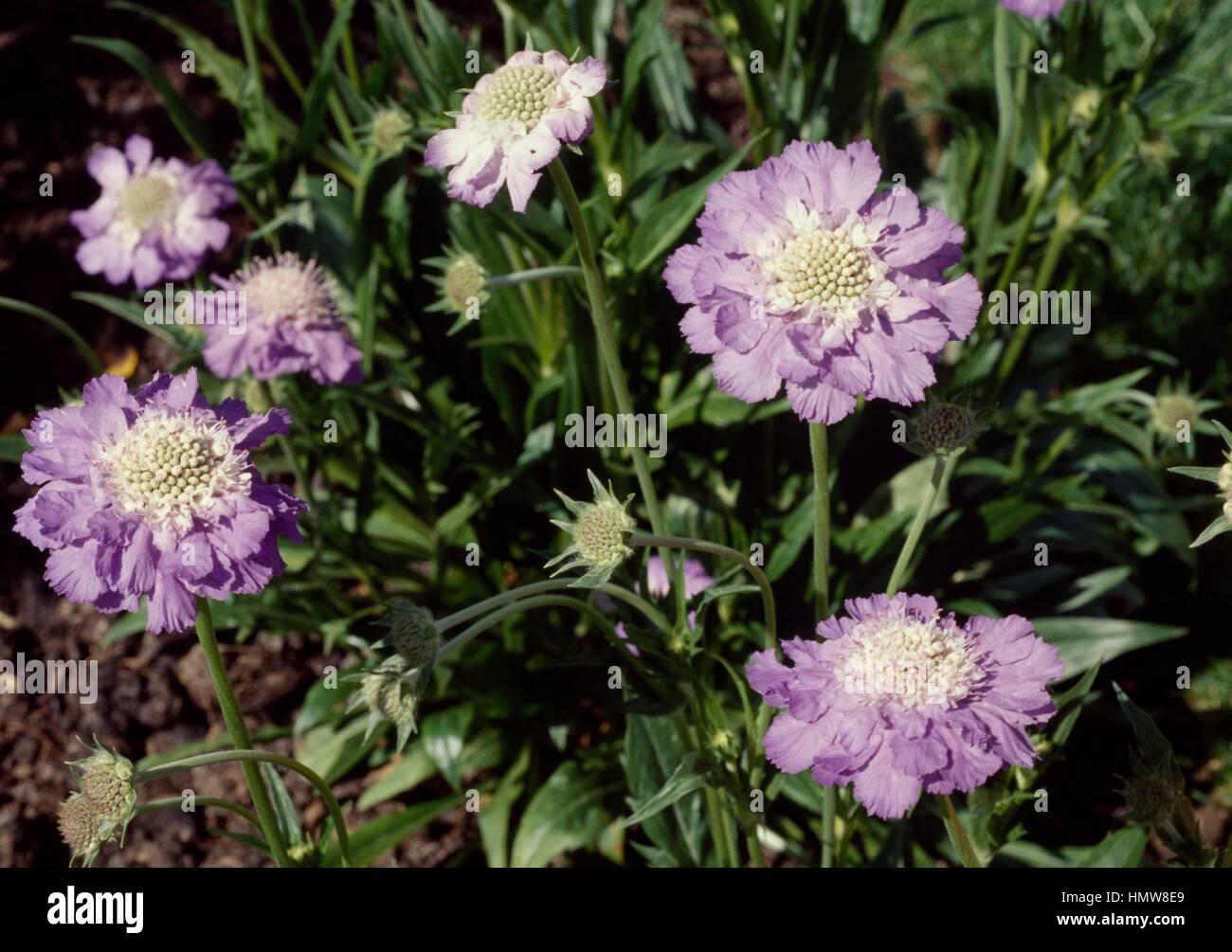 Pincushion Flower Or Scabious Scabiosa Caucasica Stafa Stock Photo