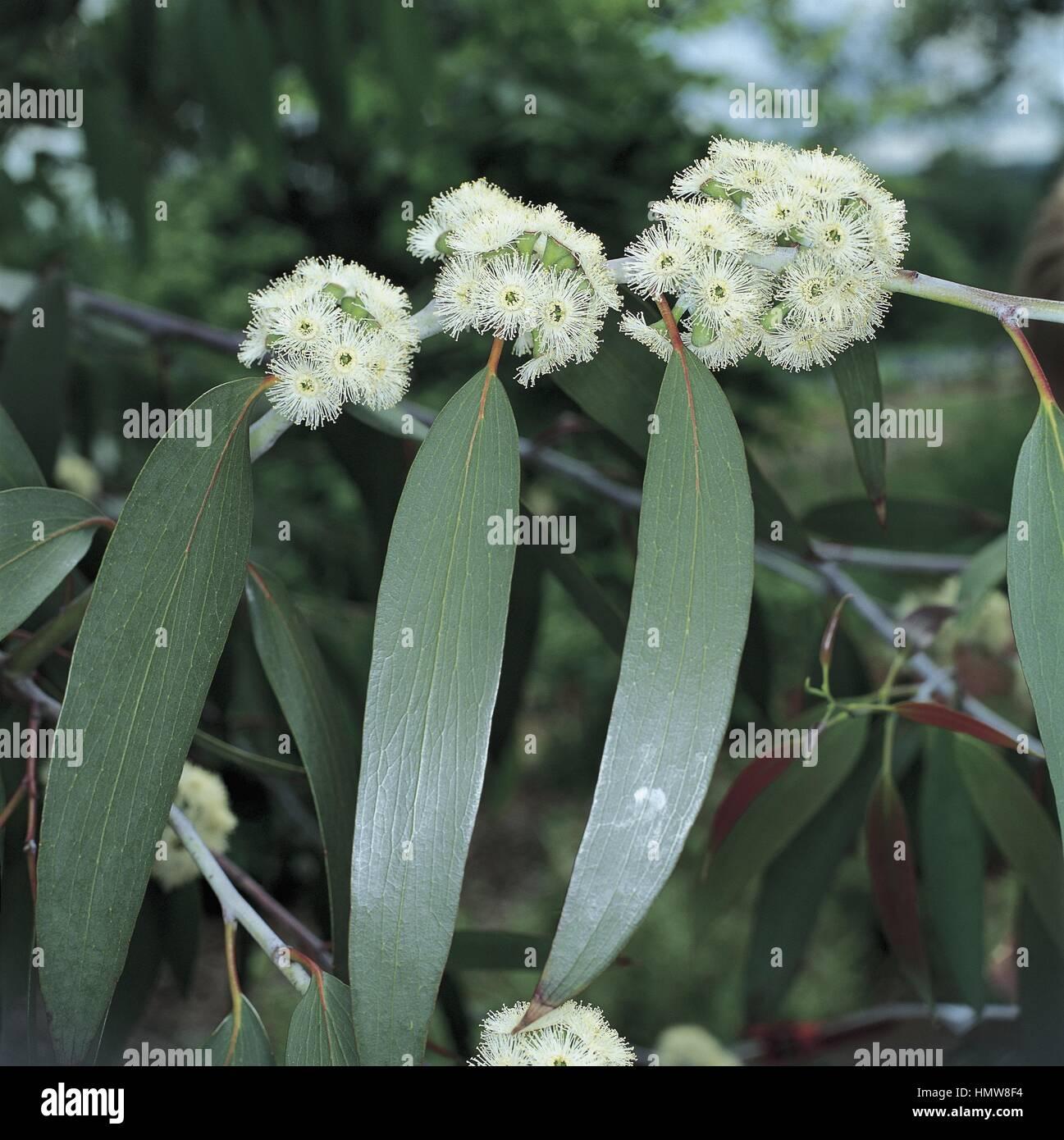 Botany - Myrtaceae. Snow gum (Eucalyptus pauciflora ssp. niphophila) - Stock Image