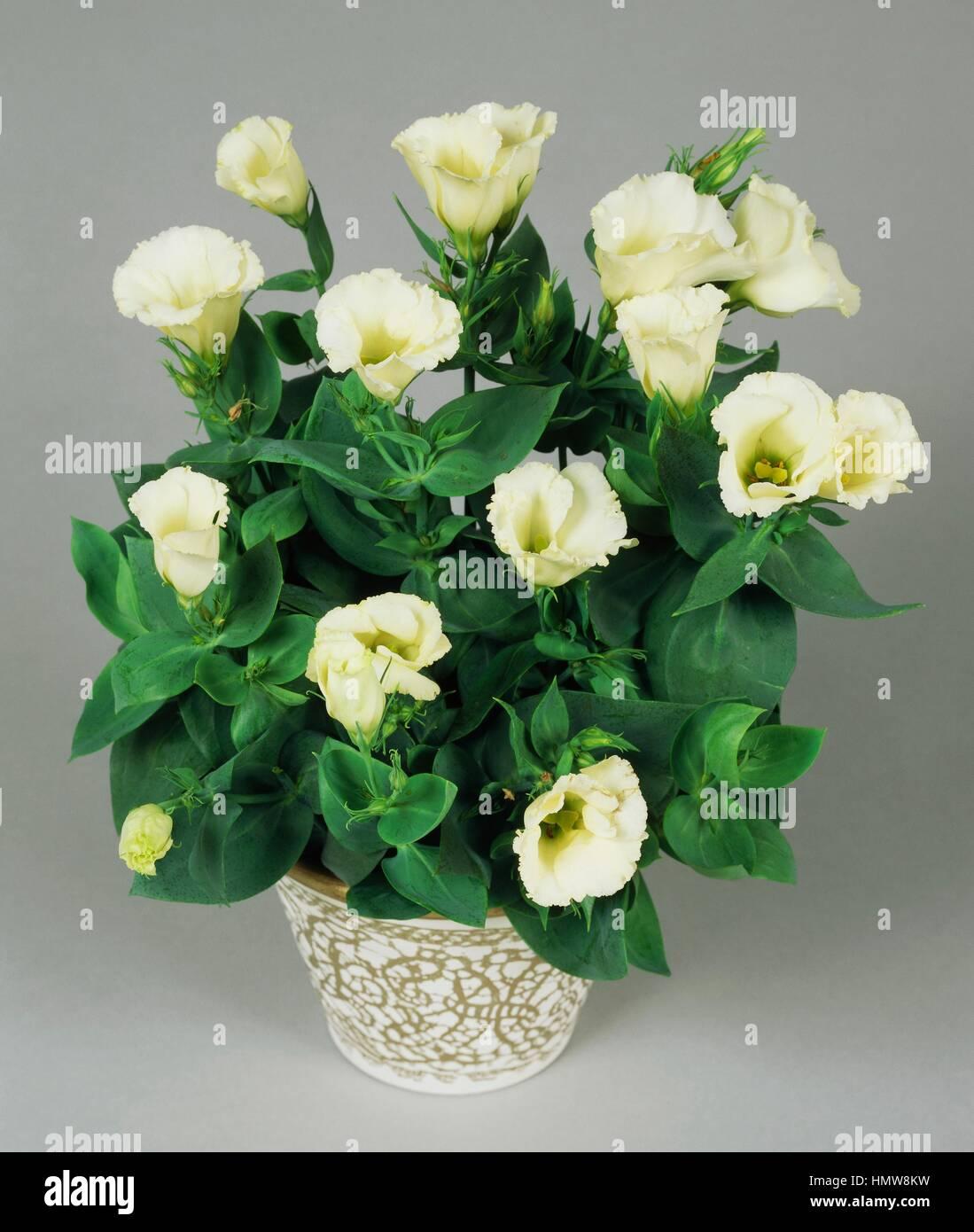 Lisianthus or Showy prairie gentian (Eustoma grandiflorum or Eustoma exaltatum russellianum), Gentianaceae. - Stock Image