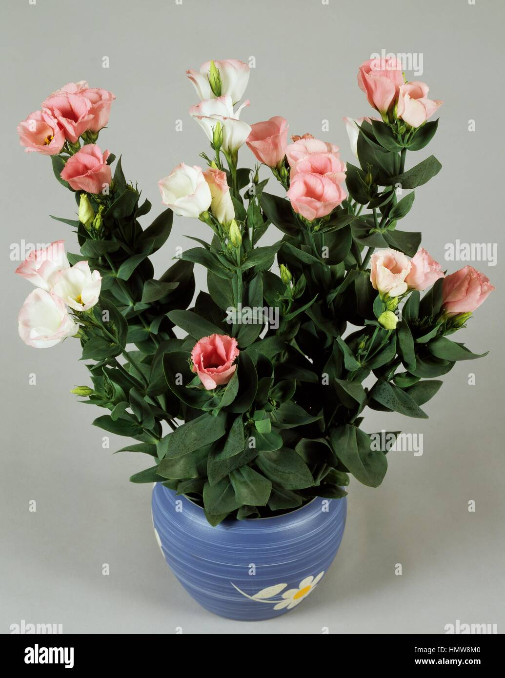 Texas bluebells, texas bluebell (Eustoma rosa Grandiflorum), Gentianaceae. - Stock Image