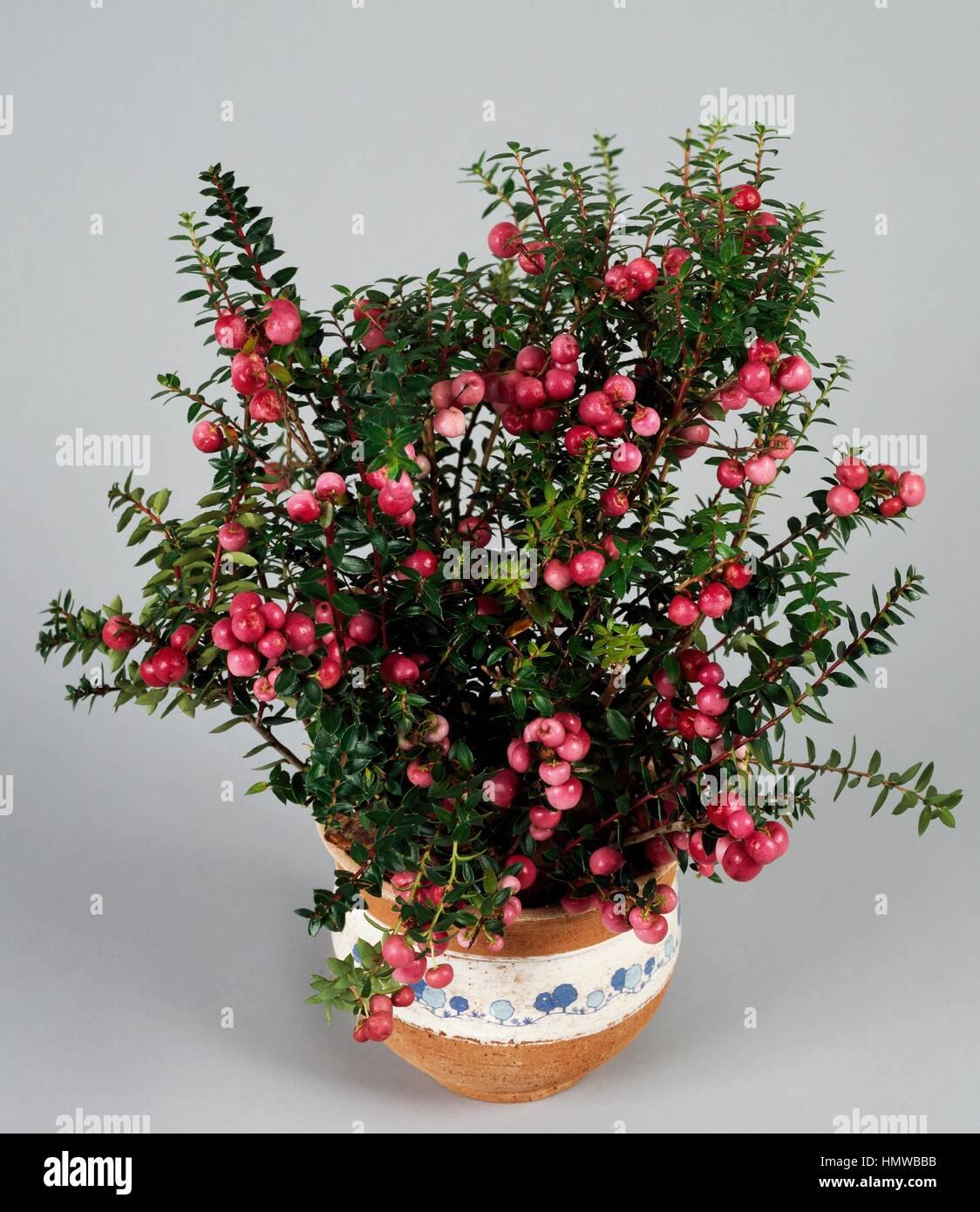 Gaultheria Pernettya.Pernettya Pernettya Mucronata Or Gaultheria Mucronata Ericaceae Stock Photo Alamy