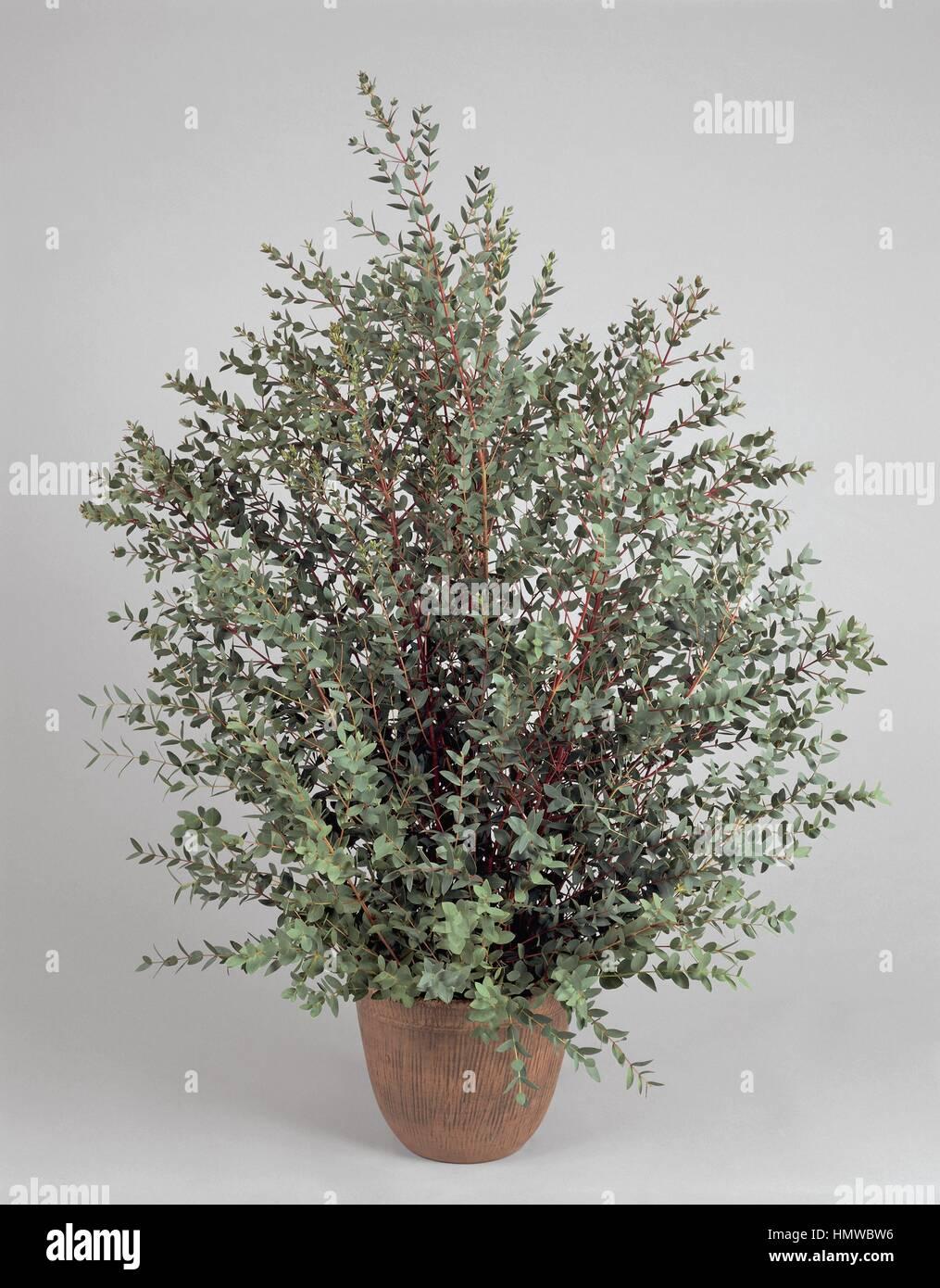 Houseplants - Myrtaceae. Snow gum (Eucalyptus niphophila) - Stock Image