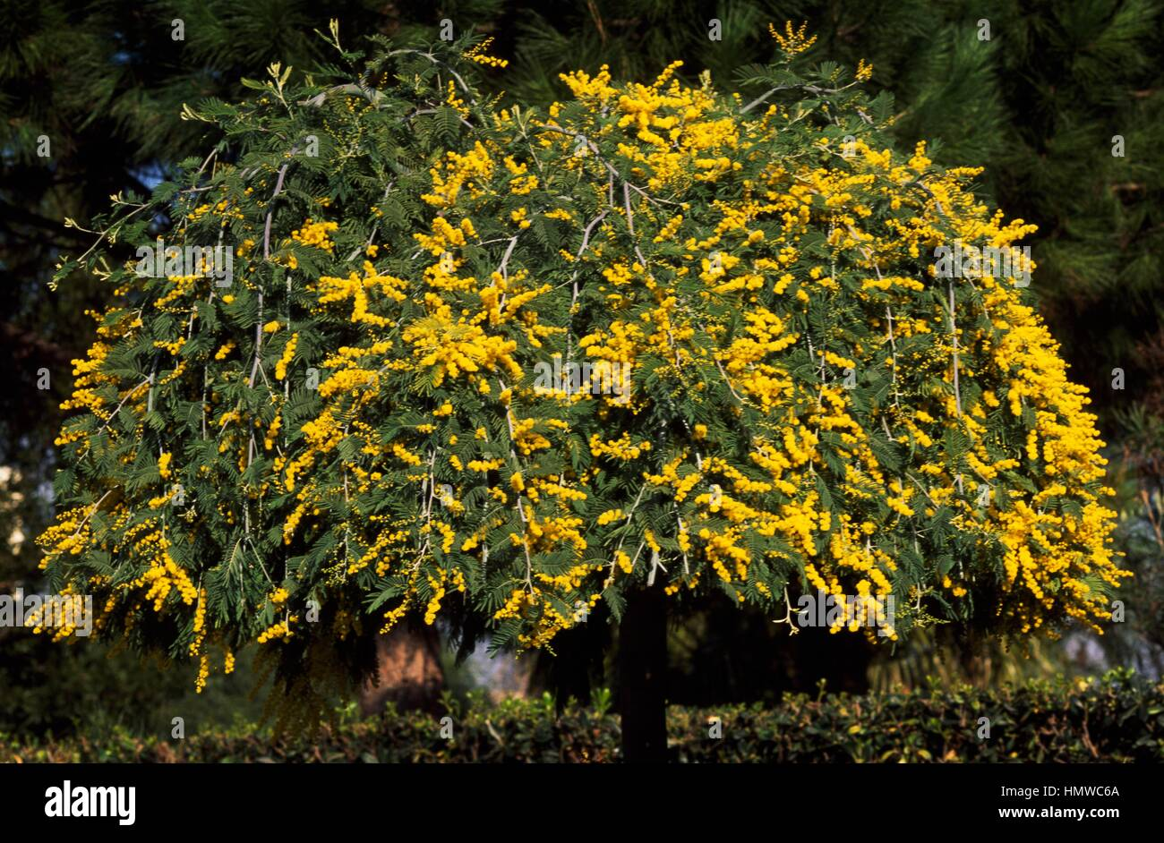 Mimosa Flower Specimens Acacia Dealbata Pendula Stock Photos