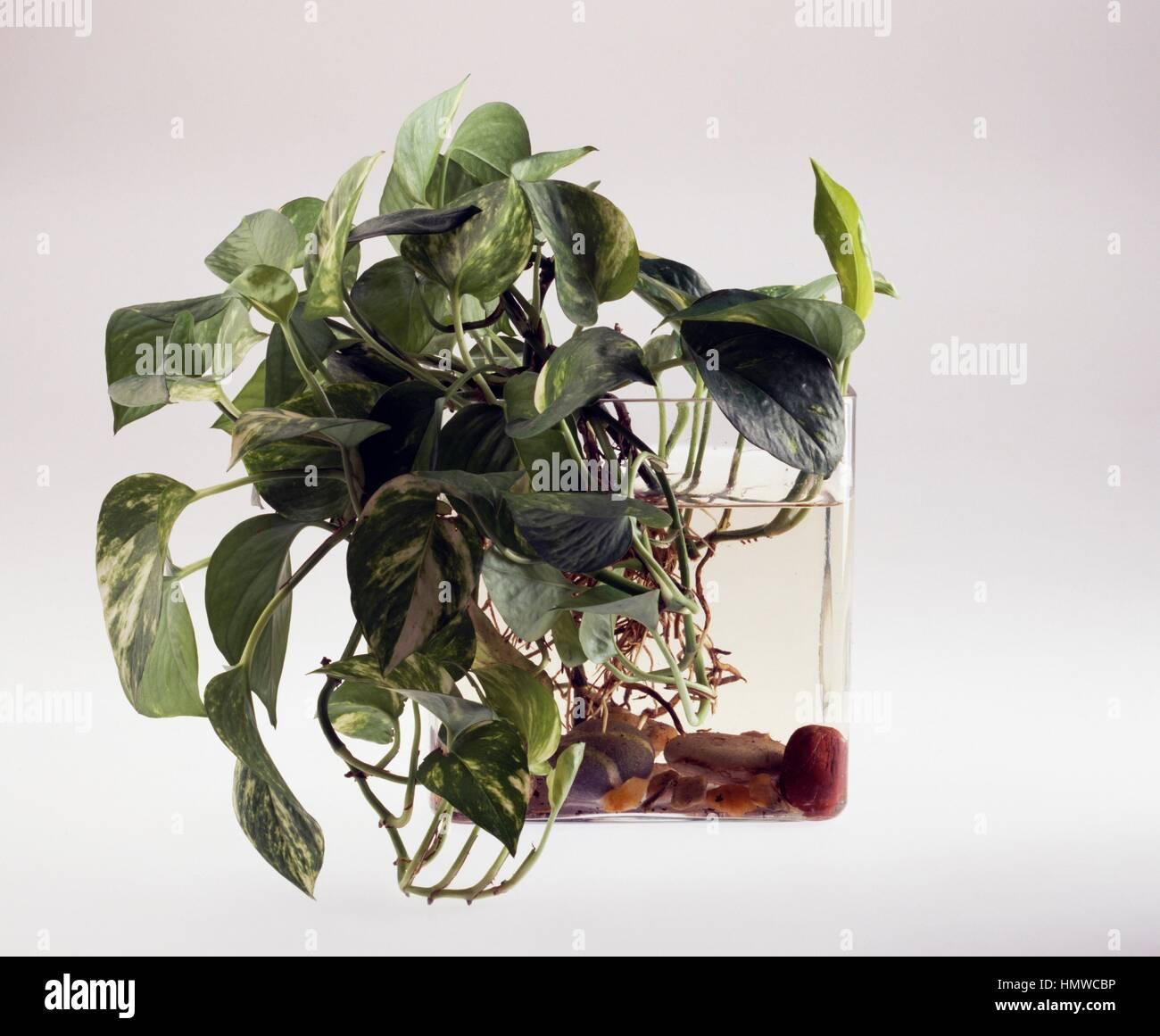 Potus (Potos sp), Araceae. - Stock Image