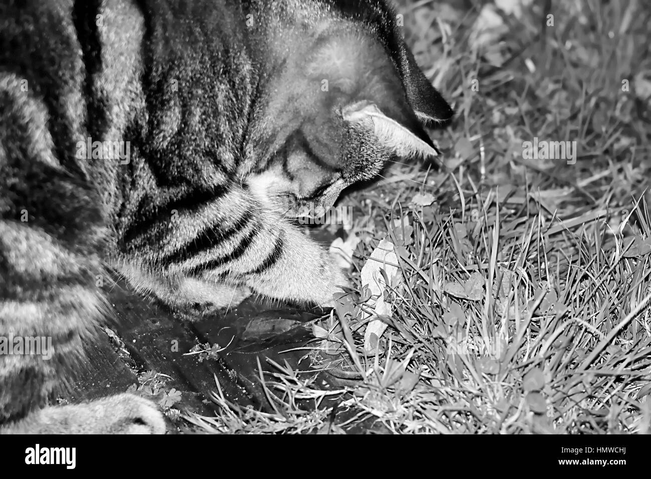 young female tabby cat looking in the grass for bugs in black and white Stock Photo