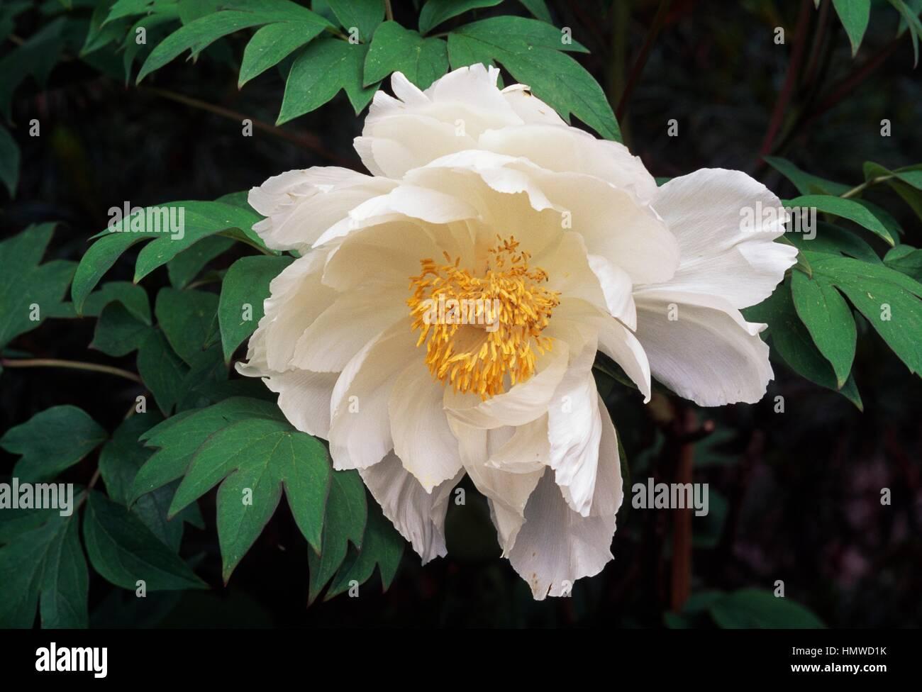 Himalayan peony (Paeonia emodi), Paeoniaceae. - Stock Image