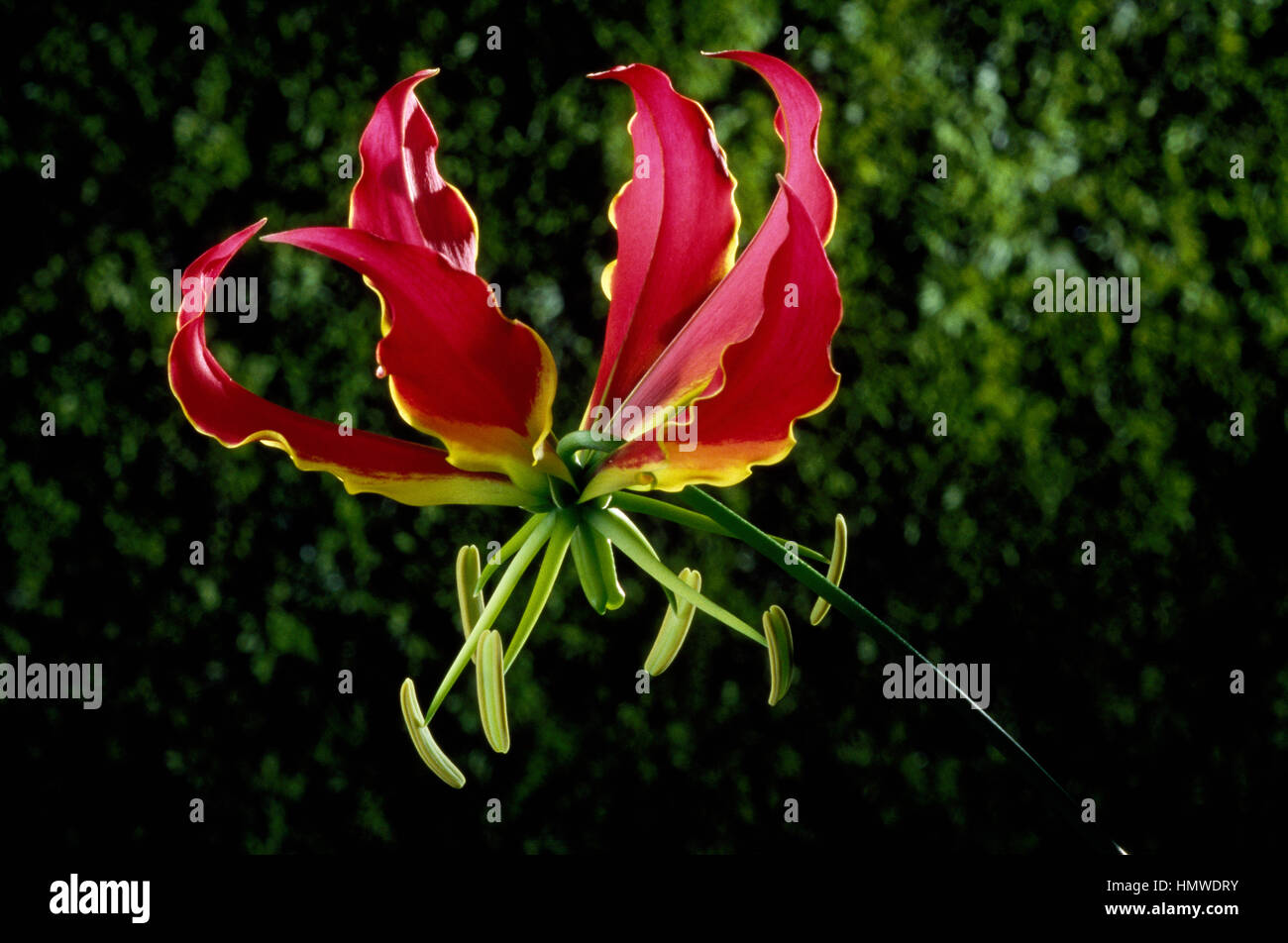 Flame lily, Glory lily or Climbing lily (Gloriosa rothschildiana or Gloriosa superba), Colchicaceae. - Stock Image
