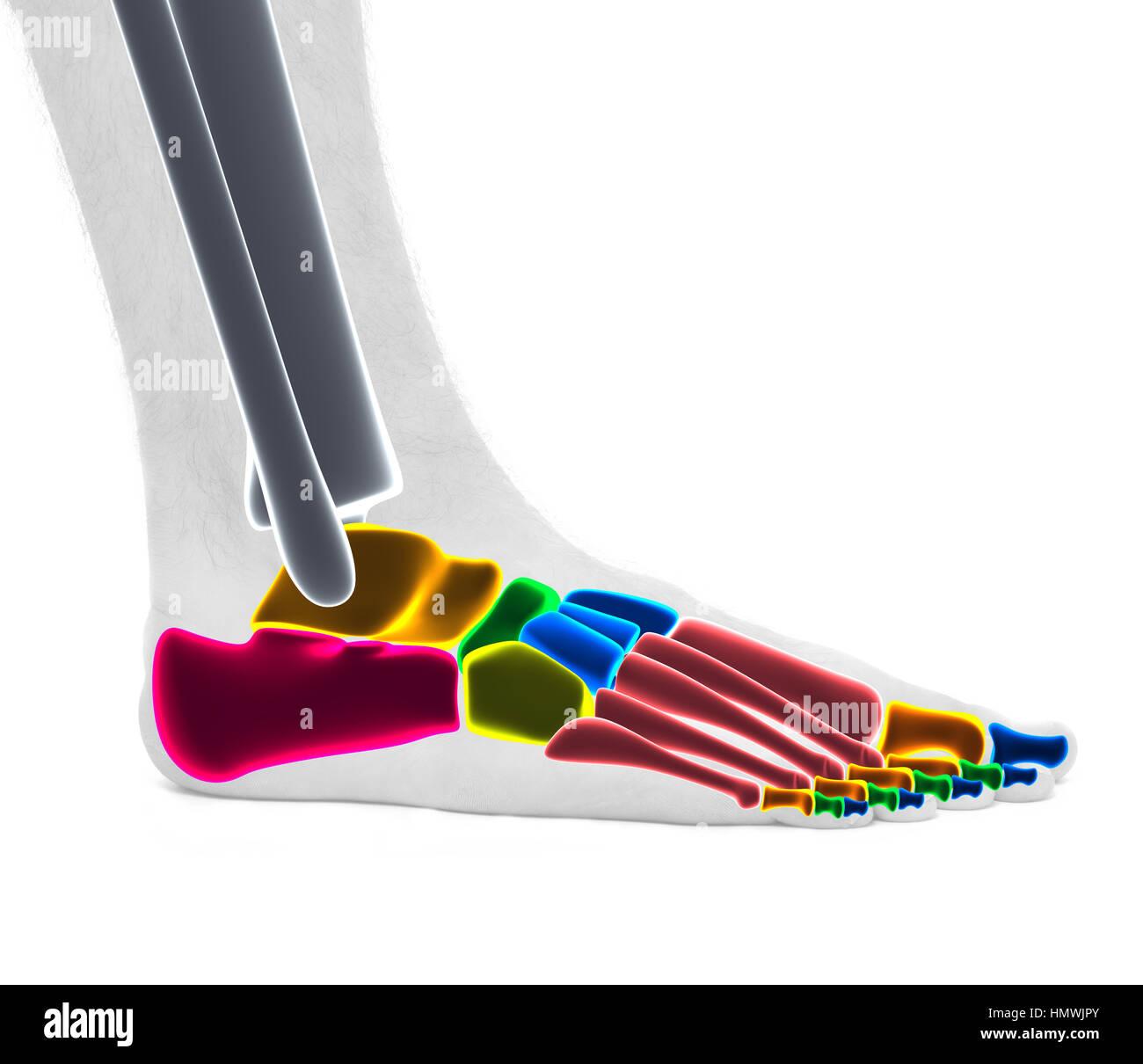 Foot Ankle Bones Anatomy Male Studio Photo Isolated On White