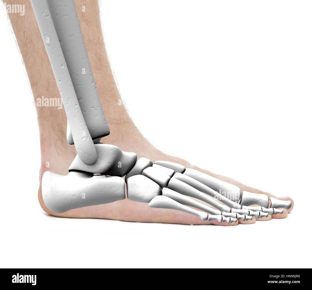 Foot Ankle Bones - Anatomy Male - Studio photo isolated on white ...