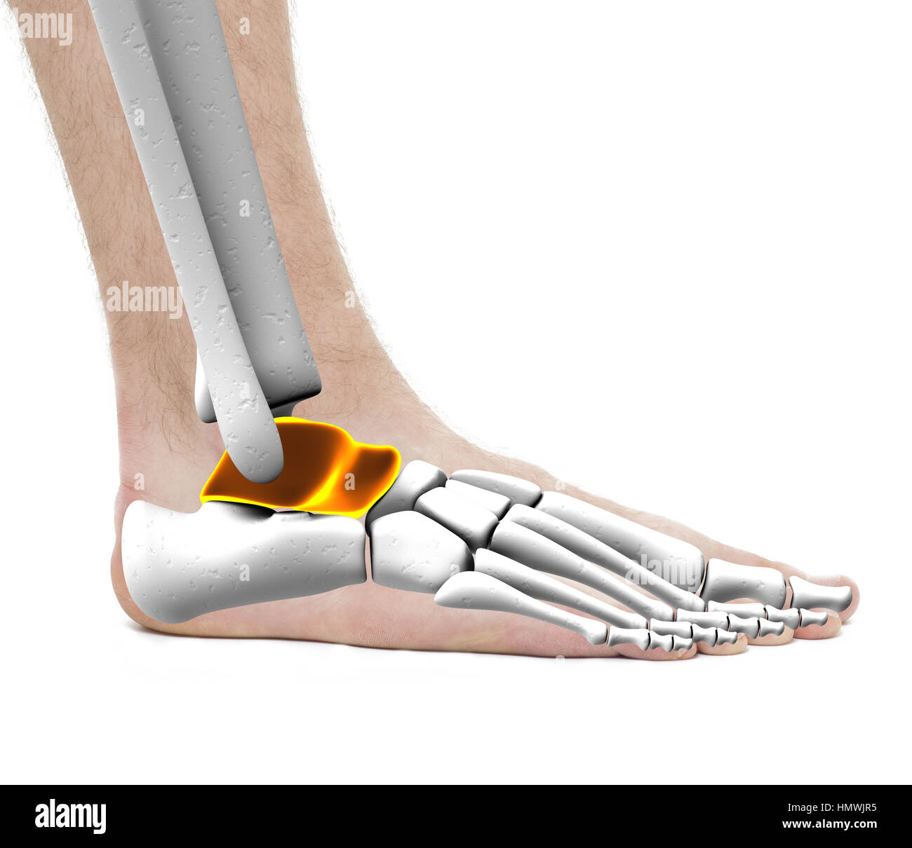 Foot Ankle Bones Anatomy Male Stock Photos & Foot Ankle Bones ...