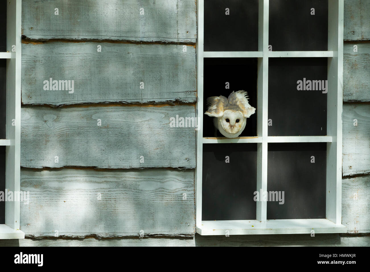 Barn owl Tyto alba (captive), perched in wooden building, Hawk Conservancy Trust, Hampshire, UK in May. - Stock Image