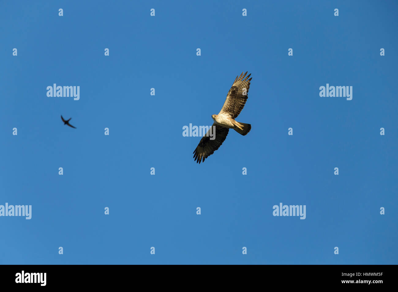 Bonelli's eagle Aquila fasciata, adult female, in flight against blue sky with Common swift Apus apus, near Béziers, Stock Photo