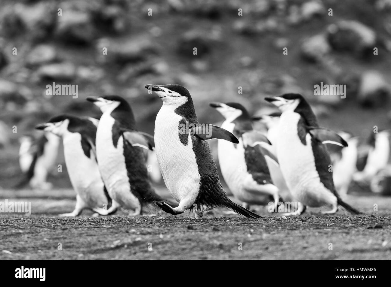 Chinstrap penguin Pygoscelis antarctica, adults, marching over volcanic sand, Baily Head, Deception Island in January. - Stock Image