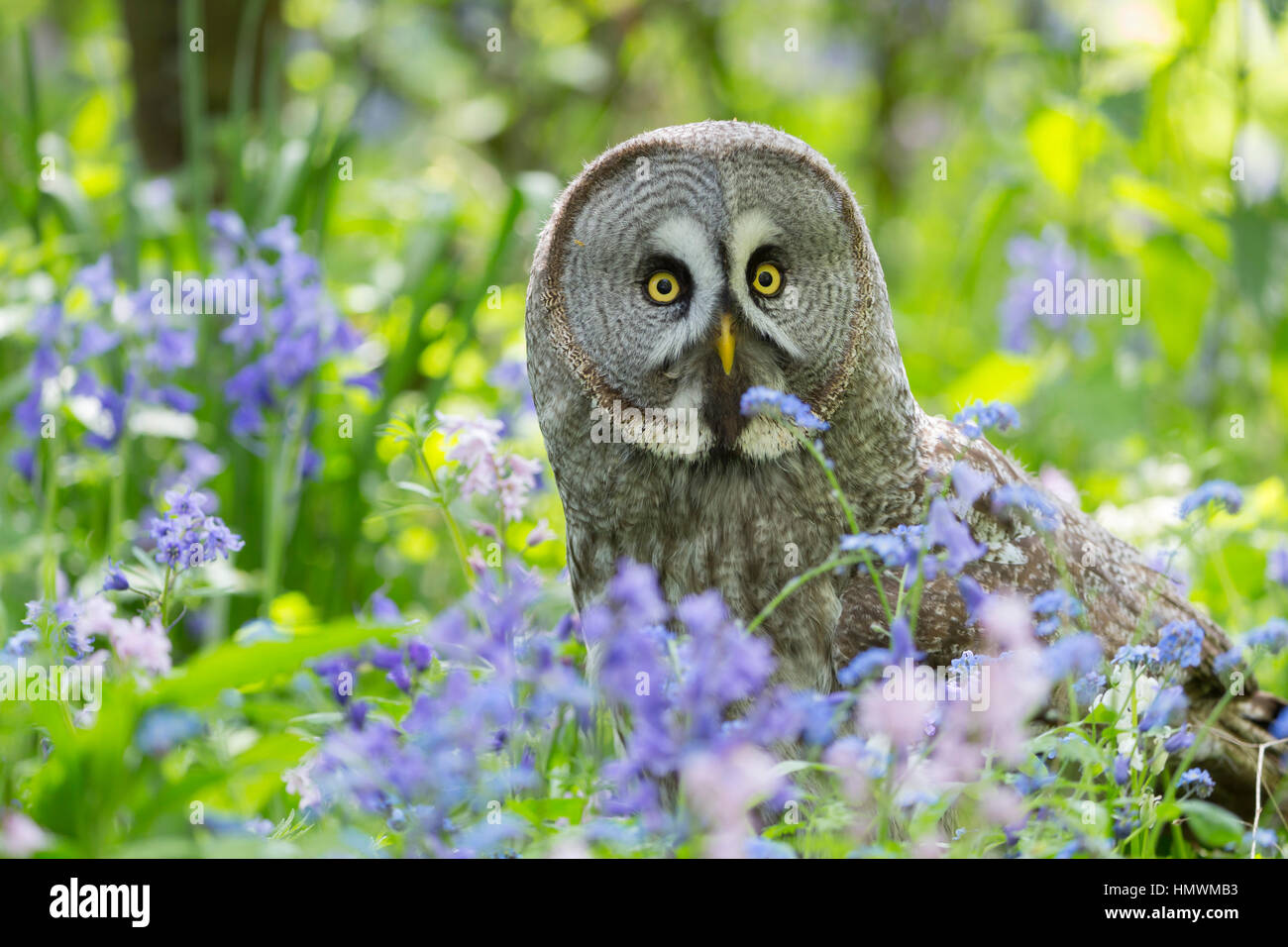 Great grey owl Strix nebulosa (captive), adult female, perched amongst woodland flowers, Hawk Conservancy Trust, - Stock Image