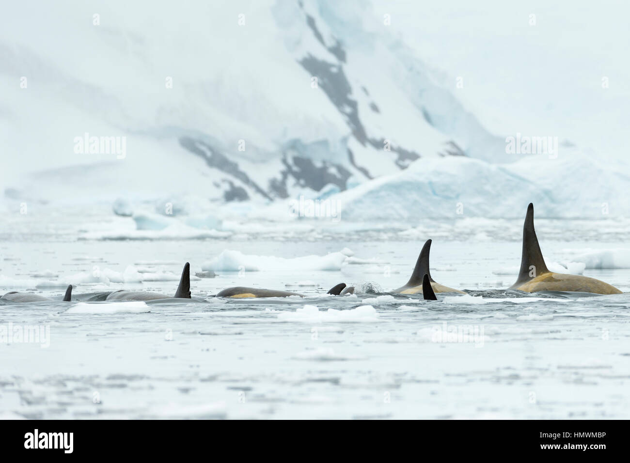 Killer Whale Orcinus orca, pod, swimming amongst ice floes, Neko Harbour, Antarctica in January. - Stock Image