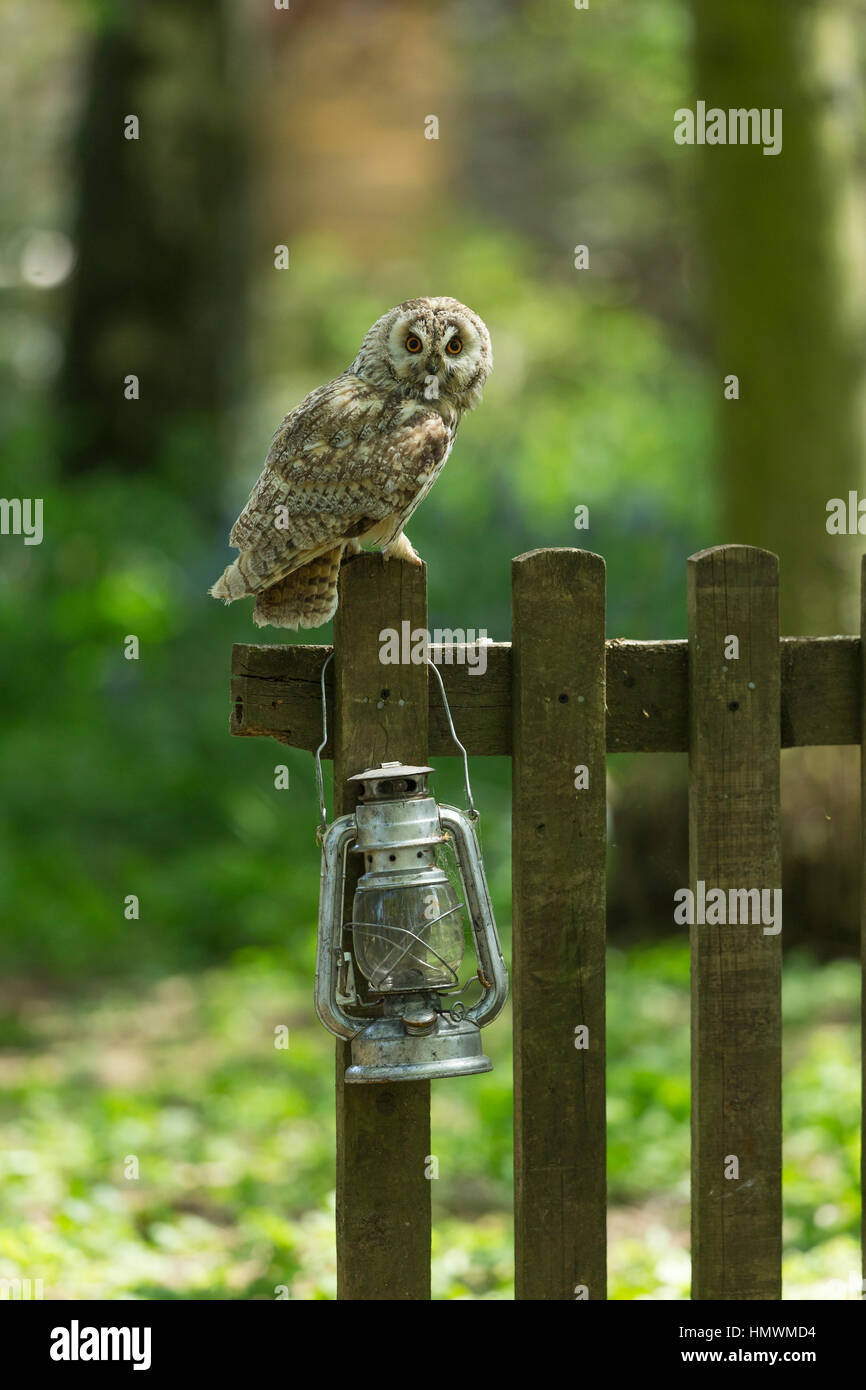Long-eared owl Asio otus (captive), adult male, perched on gate with lantern, Hawk Conservancy Trust, Hampshire, - Stock Image