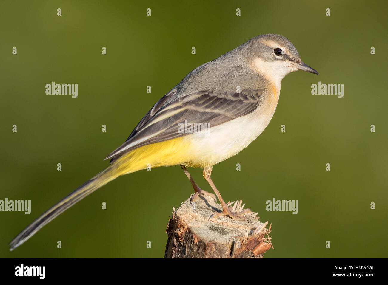 Grey Wagtail (Motacilla cinerea), first winter plumage standing on a post - Stock Image