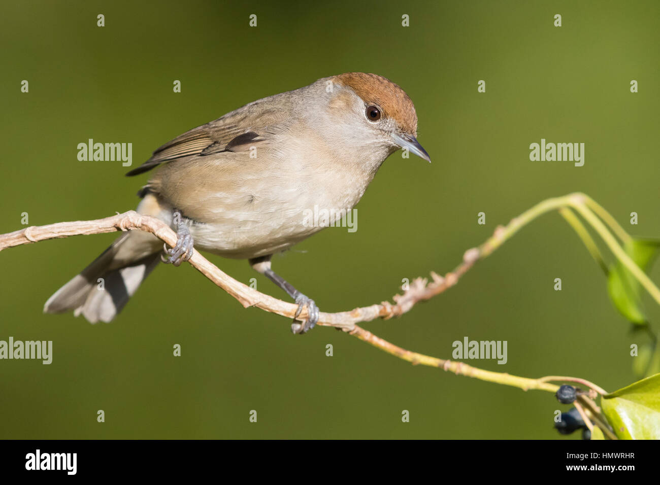Eurasian Blackcap (Sylvia atricapilla), adult female perched on a twig - Stock Image