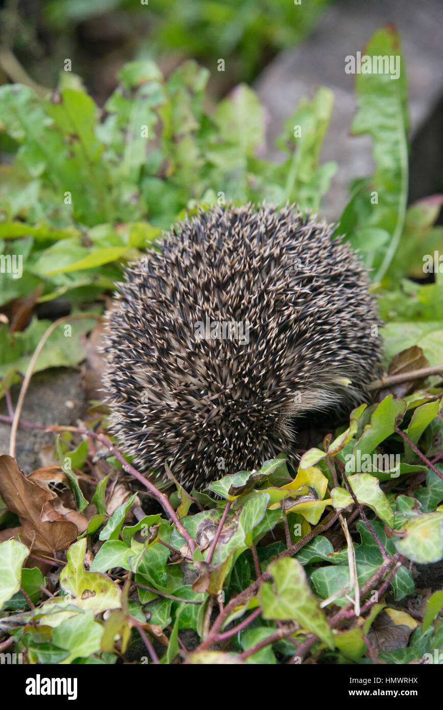 A young hedgehog searching for food around a garden in England - Stock Image