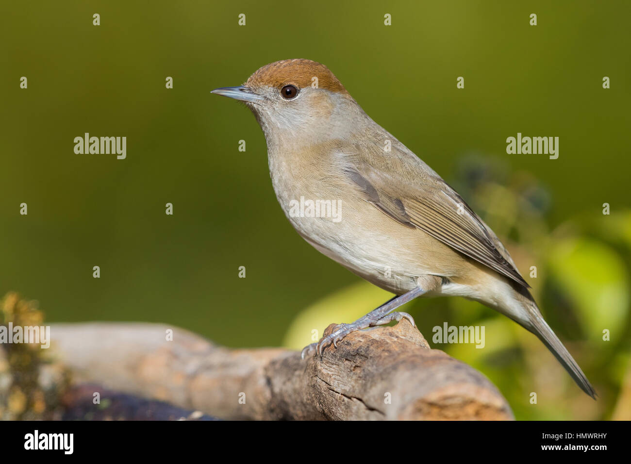 Eurasian Blackcap (Sylvia atricapilla), adult female standing on a dead branch - Stock Image