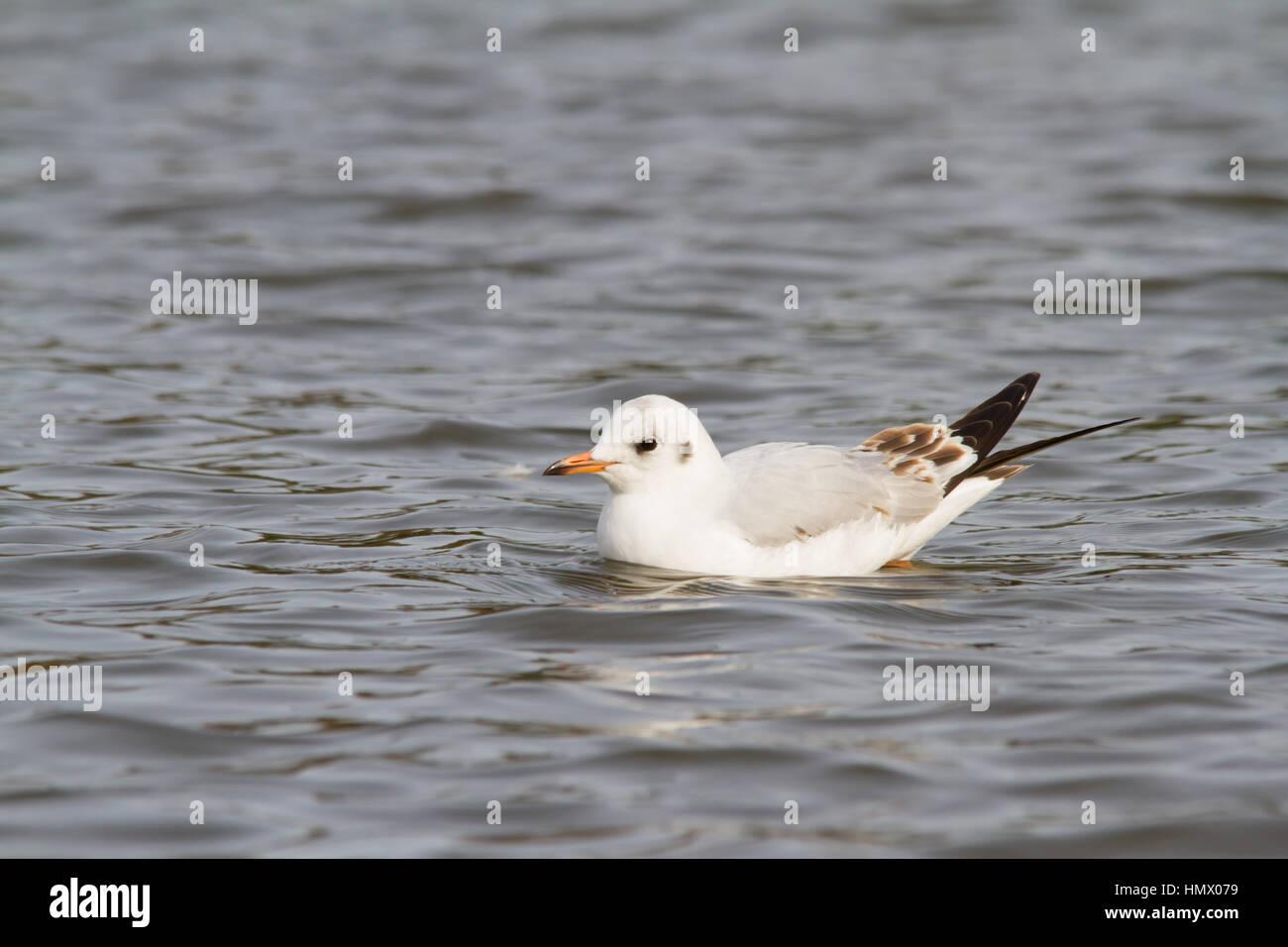 Black-headed Gull (Chroicocephalus ridibundus) swimming - Stock Image