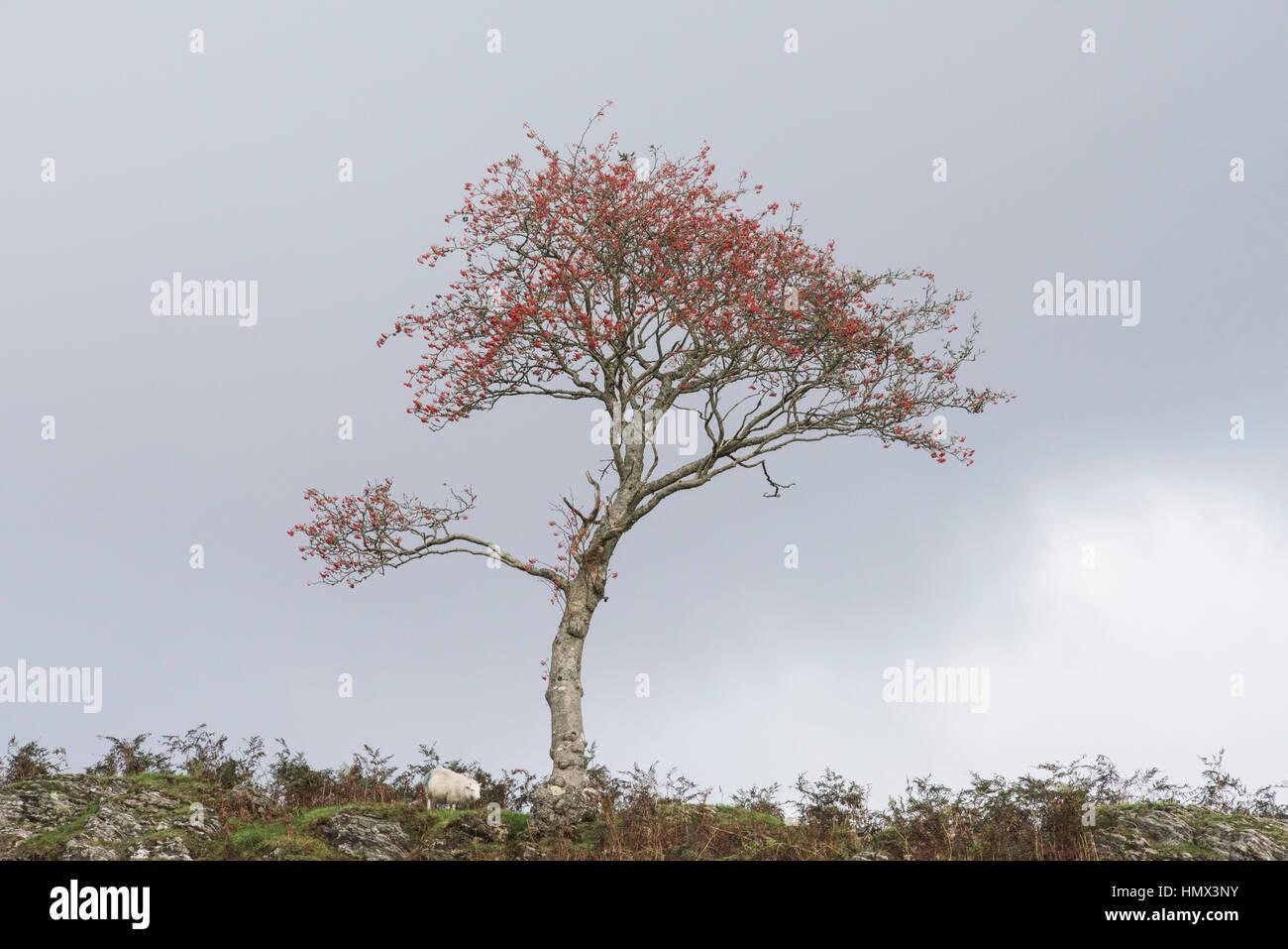 Rowan tree and sheep on Bryn Bras, Ponterwyd, Ceredigion, Wales - Stock Image